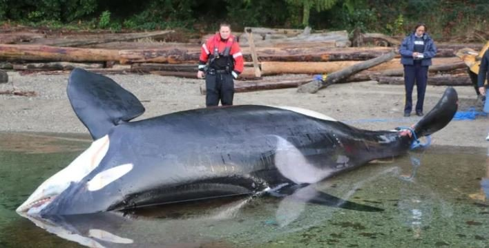 The final necropsy report for J34 confirmed the original evaluation of researchers that the whale was killed by a ship strike. (Fisheries and Oceans Canada)