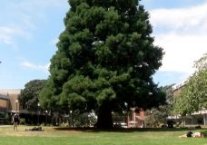 Fate of giant sequoia tree in City of Victoria's Centennial Square uncertain