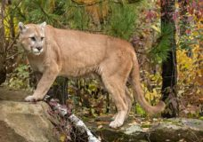 Esquimalt elementary school placed under hold-and-secure following cougar sighting