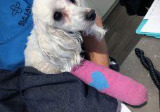 Victoria SPCA says Cover Girl has a severely broken leg and dental disease. (Victoria SPCA)