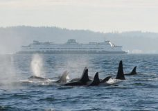 A pod of southern resident killer whales and a passenger ferry in B.C. waters. (C. Emmons/NOAA Fisheries). Photo courtesy of CBC