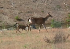 High reports of cyclist collisions with deer unique to the CRD