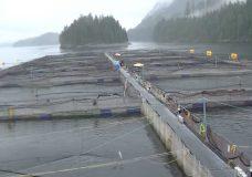Three Tofino fish farms impacted from harmful algae blooms, Cermaq says