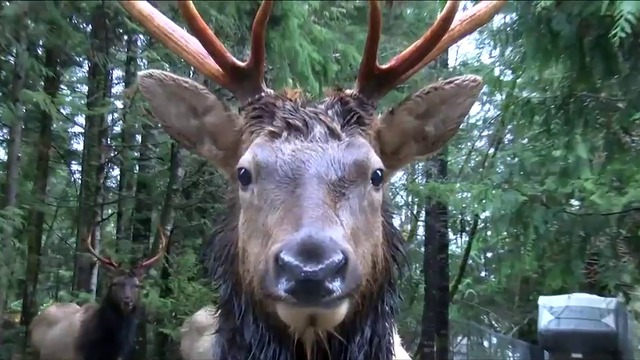 Wild elk are taking up residence in a Cowichan town
