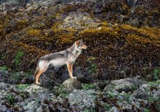 Pair of photographers capture Vancouver Island wolf in stunning photos