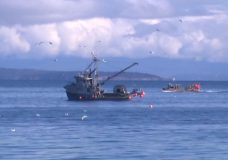 Controversy grows as Vancouver Island's herring fishery approaches