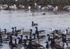 Brant Geese arrive in Parksville for annual spring migration