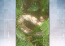 The dead boa found near Nanaimo.