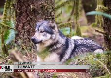 Outrage and grief after Discovery Island wolf shot and killed by hunter