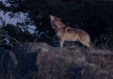 Updated: Island wolf 'Takaya' killed by hunters near Shawnigan Lake