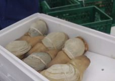 BC geoduck industry to lose millions due to coronavirus