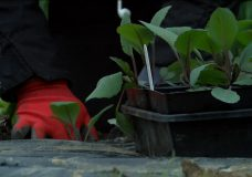 Nanaimo food planting program goes big in wake of COVID-19