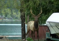 One of the elk that live in the Youbou area is seen standing in someone's yard.