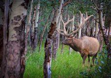 Poachers in the Cowichan Valley kill 15 elk in the last month