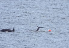 A juvenile orca became entangled in the waters near Neck Point in Nanaimo and ended up swimming more than 600 metres to escape on Sunday.