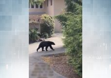 The black bear seen walking up a Langford street hill on Sunday morning