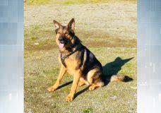 West Shore RCMP police dog Erik