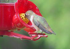 A hummingbird enjoys breakfast at Shawnigan Lake on May 20, 2020. (Colin and Kate Berbaum)