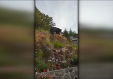 A black bear in Jim Banks's backyard in Langford.