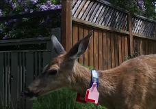Oak Bay deer project off to promising start