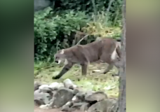 VIDEO: View Royal resident recounts 'majestic sight' after cougar stalks through nearby yard