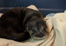 An orphaned baby otter is being cared for at the BC SPCA's Wild Animal Rehabilitation Centre in Metchosin after its mother was struck and killed by a car.