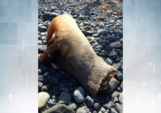 A decapitated Sea lion on the rocks at Neck Point Park in Nanaimo