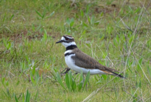 Killdeer have been spotted at Esquimalt Lagoon for the first time. PHOTO CREDIT: Graham Sorenson
