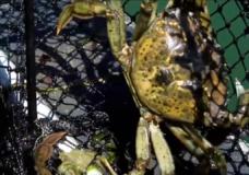 A European green crab caught in Tofino.