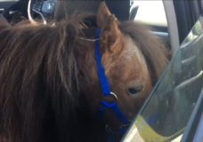 Puppy the miniature horse cruising around Nanaimo.