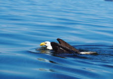 Video captures bald eagle swimming to shore off Vancouver Island coast