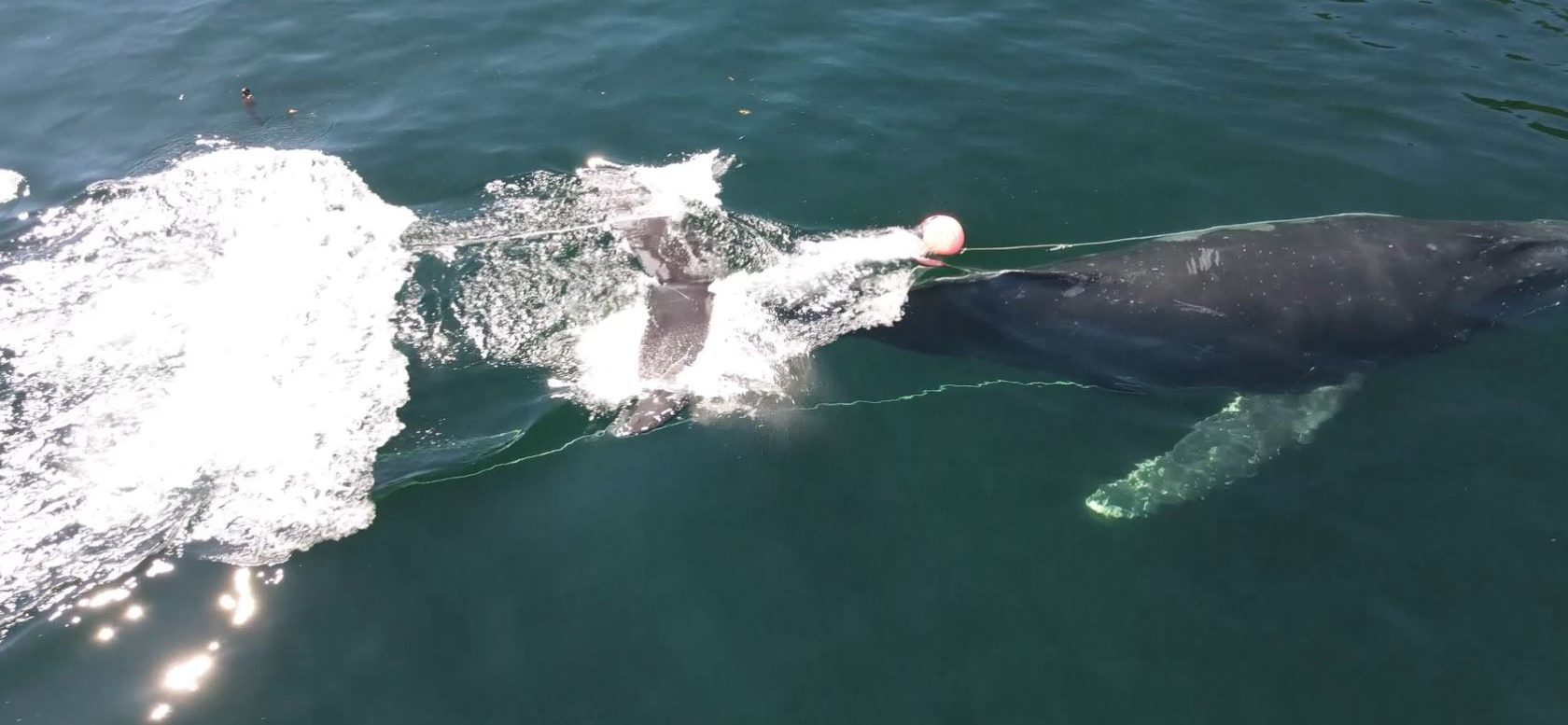 DFO removing fishing gear from entangled humpback whales near Vancouver Island