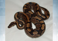 A file photo of a ball python from Wikipedia. Photo provided by VicPD.