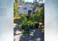 Kids discover numerous cannabis plants near public trail in Saanich