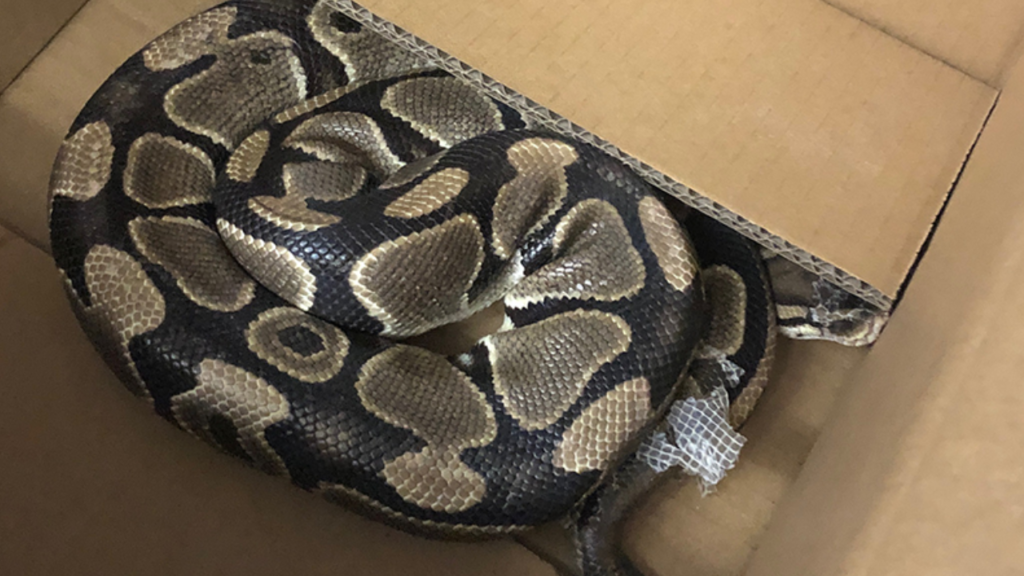 Missing python found after it disappeared for over a month: VicPD