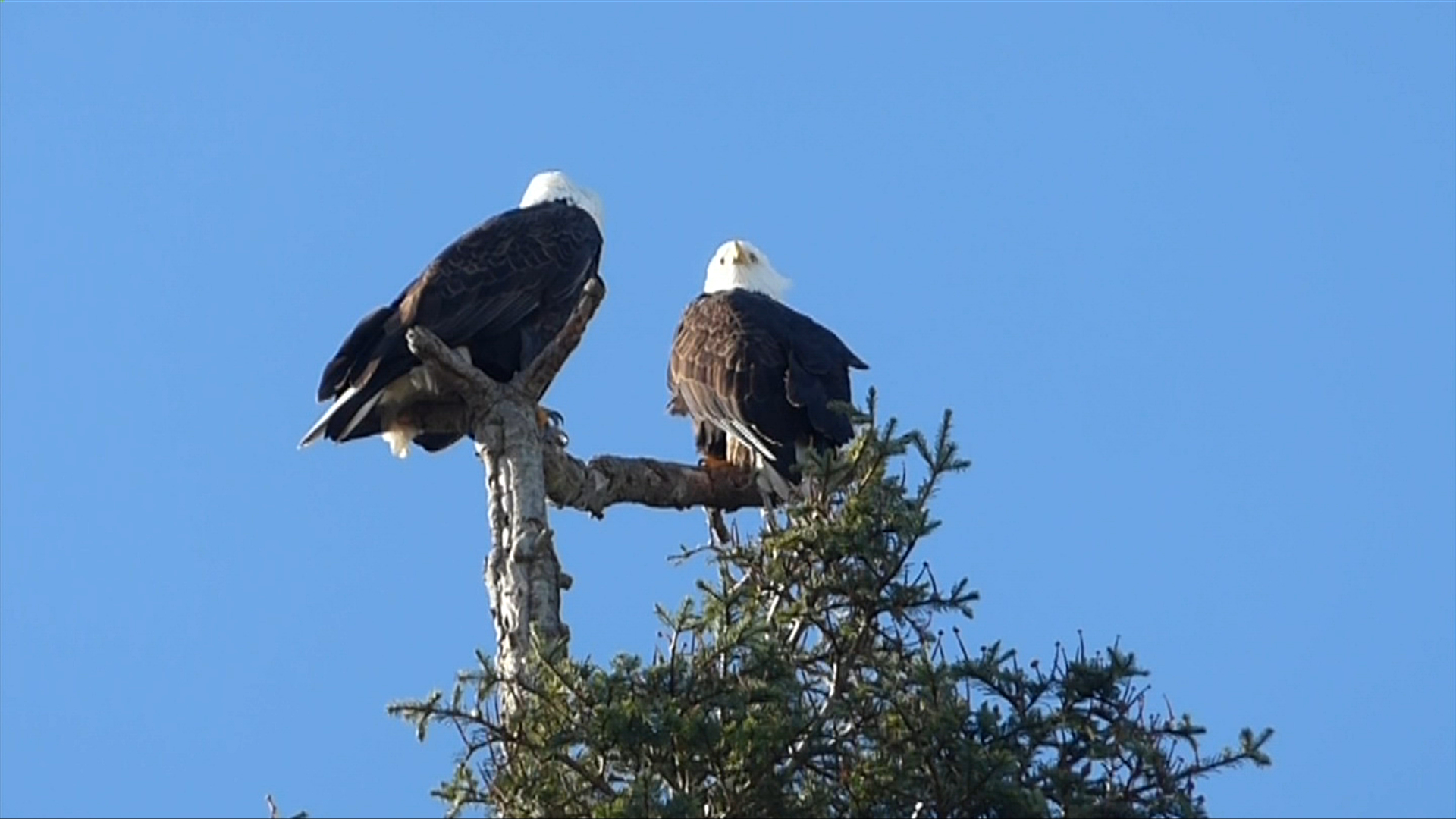 New Man Made Eagle Nest Built In French Creek