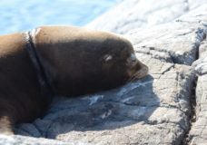 Sea lion rescued from plastic band off southern coast of Vancouver Island