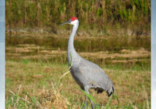 Sandhill cranes make rare appearance in Greater Victoria due to smoke