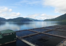 Discovery Islands fish farms pose minimal risk to wild salmon, DFO says