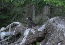 'I was so emotional': Fate of baby eagle on Denman Island grips the community