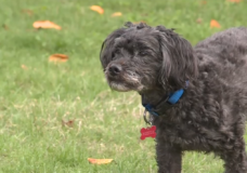 'I was instantly terrified': Small dog runs at cougar in Langford area park
