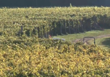 Smoky days in late summer hurt Vancouver Island wineries