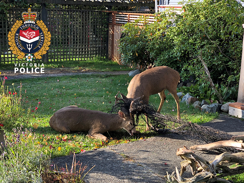 VicPD officers, BC Conservation free two entangled bucks