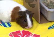Campbell River SPCA seeks public help after taking in 49 guinea pigs