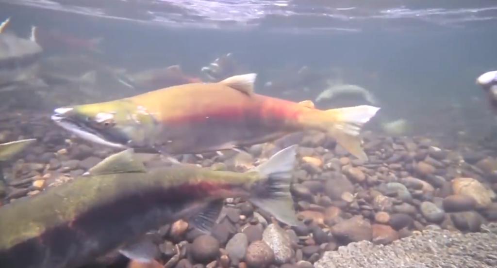 Farmed salmon virus source, amplifies disease transmission in wild salmon: B.C. study