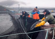 Fish farms near Campbell River to be phased out over next 18 months: Feds