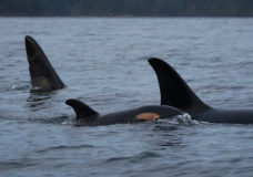 'I felt very emotional': Long-lost Orca pod returns home to Vancouver Island after 25 years