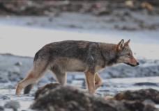 Mini documentary profiles coastal wolves on Vancouver Island