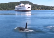 Orcas target of new technology in a bid to protect marine mammals