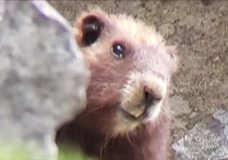 Waking with loud grunts, Island marmots predict 6 more weeks of winter